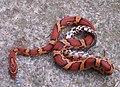 Okeetee corn snake.jpg