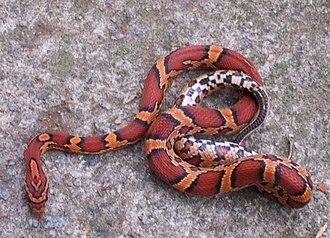 Corn snake - Young Okeetee Phase corn snake