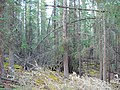 Old Growth White Spruce in Whitehorse.jpg