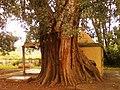 Old Peepal tree (Ficus religiosa) at Kummaripalem 02.jpg