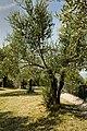 Olive Tree (9659277178).jpg
