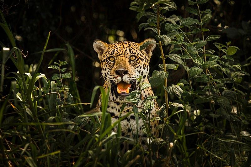 File:Onça do Pantanal.jpg
