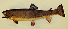 Colored drawing of Yellowstone cutthroat trout from 1904 book