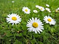 One daisy for you one for me... (25863903910).jpg
