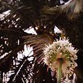 Onion plant2 at Kolkata, India.jpg