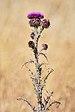 Onopordum illyricum near Holbrook NSW Australia.jpg