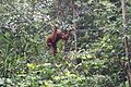 Orangutan on double ropes (26515290302).jpg