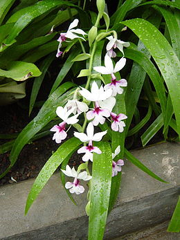 Orchid1876