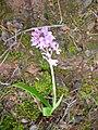 Orchis langei re.jpg