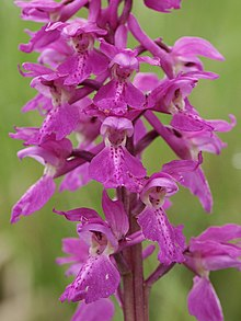 Orchis mascula flowers1.jpg