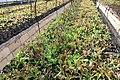 Organic salad bohol bee farm.jpg