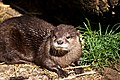 Oriental Small-clawed Otter (5741303665).jpg
