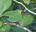 Oriente warbler Teretistris fornsi. Endemic - Flickr - gailhampshire (3).jpg