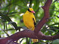 Oriole-Black-naped-(Oriolus chinensis)-Jurong-Singapore-01-large.jpg