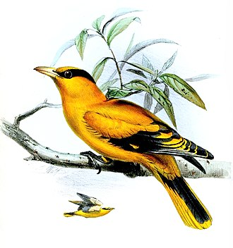 Black-naped oriole - O. c. broderipii illustration (1850)