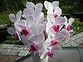 Orkide 2 - panoramio.jpg