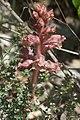 Orobanche alba inflorescence (52).jpg