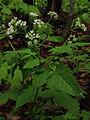 Osmorhiza longistylis - Aniseroot 2.jpg