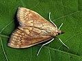 Ostrinia nubilalis - European corn borer - Кукурузный мотылёк (26972585328).jpg
