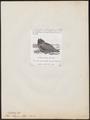 Otus stygius - 1872 - Print - Iconographia Zoologica - Special Collections University of Amsterdam - UBA01 IZ18400191.tif