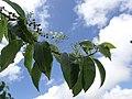 PB159646 Trichostigma octandrum (Petiveriaceae).jpg
