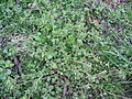PKR, unidentified plant no 004.JPG