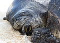 PMNM - monk seal and turtle (27705150490).jpg