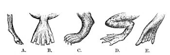 PSM V04 D547 Evolutionary adaptions of feet.jpg
