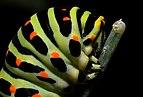 Paź królowej (Papilio machaon), głowa gąsienicy.jpg