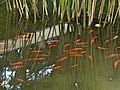 Pablo Sanxiao Red Fishes.jpg