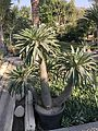 Pachypodium at Cairo By Hatem Moushir 2.jpg