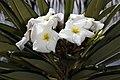 Pachypodium lamerei 5Dsr 1736.jpg