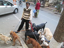 Pack of dogs with their 'Dog Walker'.JPG