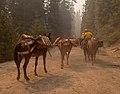 Packers leading a mule pack string (16375105795).jpg