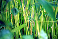 Paddy cultivation 2.jpg