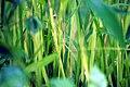 Paddy cultivation 2.jpg