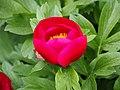 Paeonia peregrina Piwonia obca 2015-05-17 05.jpg