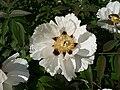 Paeonia suffruticosa G03.jpg