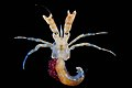 Paguridae (MNHN-IU-2010-4864).jpeg