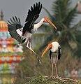 Painted Stork (Mycteria leucocephala) landing in Uppalapadu, AP W IMG 5095.jpg