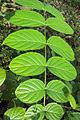 Pajanelia longifolia leaves.jpg