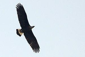 Pallas's fish eagle - Pallas's fish eagle in flight. From Jim Corbett National Park