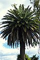 Palma Fénix (Phoenix canariensis) (14342332899).jpg