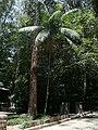 Palmito Juçara - Parque Guarapiranga - Av. Guarapiranga 505 - panoramio.jpg