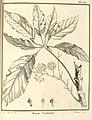 Panax morototoni Aublet 1775 pl 360.jpg