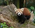 Panda rouge Amiens 26871.jpg