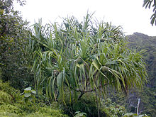 Pandanus tectorius growing in the mountains of Oʻahu in Hawaii