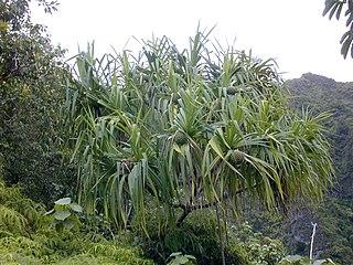 <i>Pandanus tectorius</i> species of plant