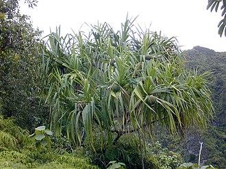 Pandanus tectorius - Pandanus tectorius growing in the mountains of O{{okina}}ahu in Hawaii