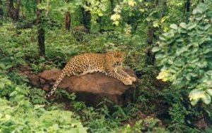 Bhopal - A leopard in Van Vihar, Bhopal